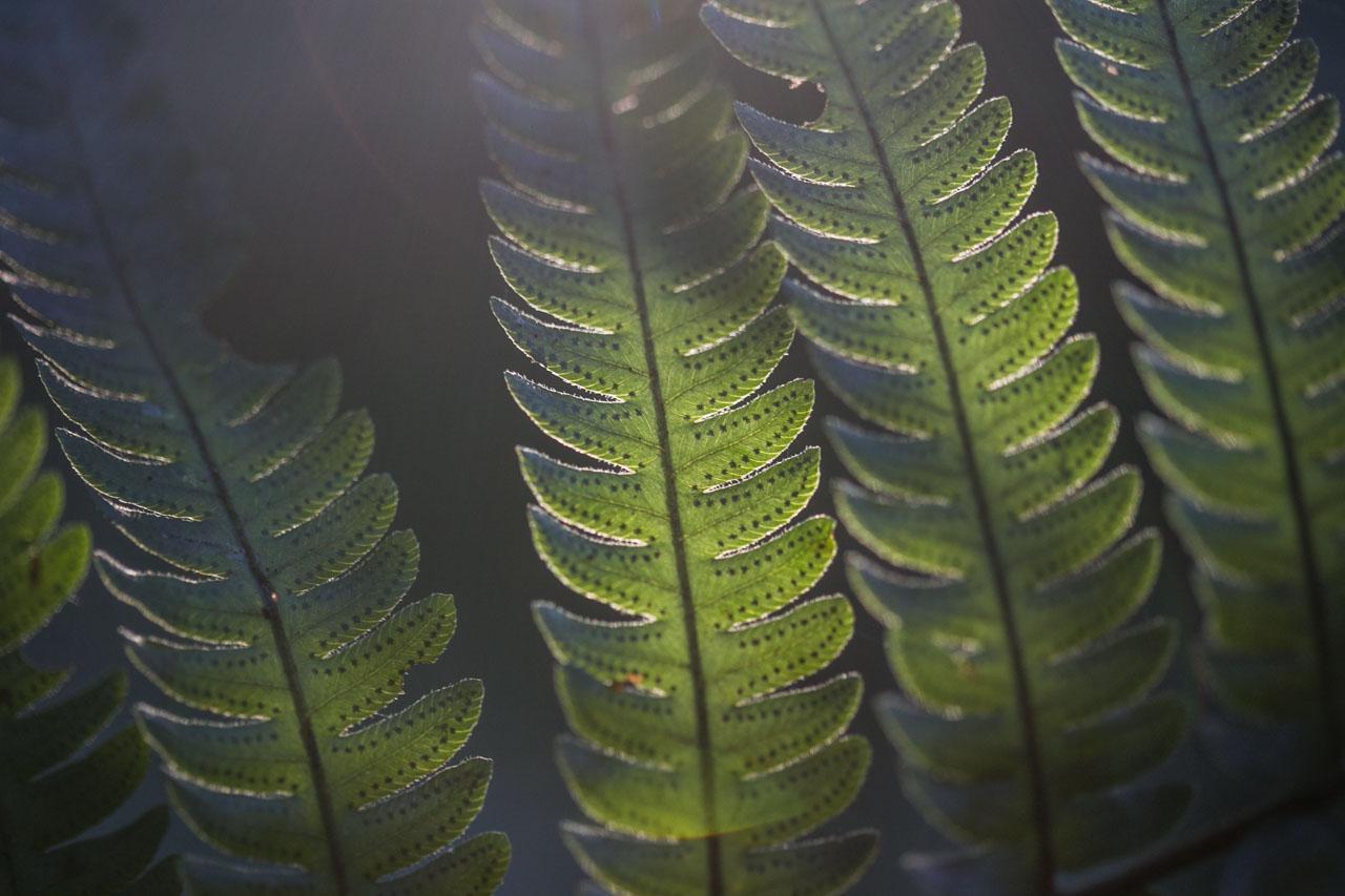Los rayos del sol iluminan esta pequeña filicopsida que permite ver sus detalles en esta fotografía macro. (Tetsu Espósito)