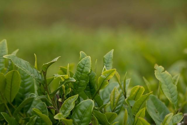 Green Tea Up Close