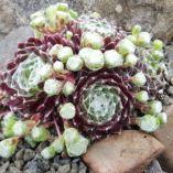 Sempervivum arachnoideum rubrum 'sempervivum arachnoideum rubrum 'Piletina'