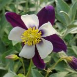 Aquilegia 'Swan Violet and White'