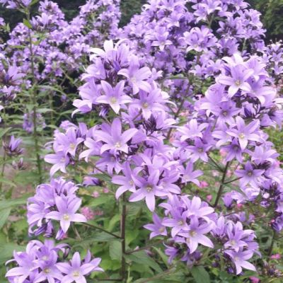Campanula lactiflora 'Border Blues'