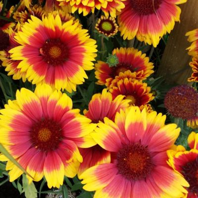 Gaillardia 'Arizona Mixed'