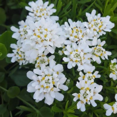 Iberis sempervirens 'Whiteout'