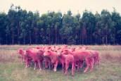 pink Sheep I GRAY MALIN dream series FashionDailyMag