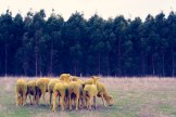 Yellow Sheep II GRAY MALIN dream series FashionDailyMag