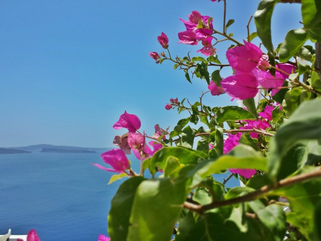 pink flowers plants oia greece