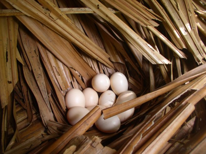 The hen laid ten eggs, and after 21 days, nine of them hatched.