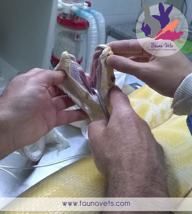 Amputación de cola a serpiente veterinario