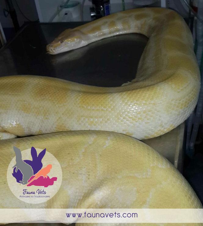 Amputación de cola a pitón veterinario serpientes