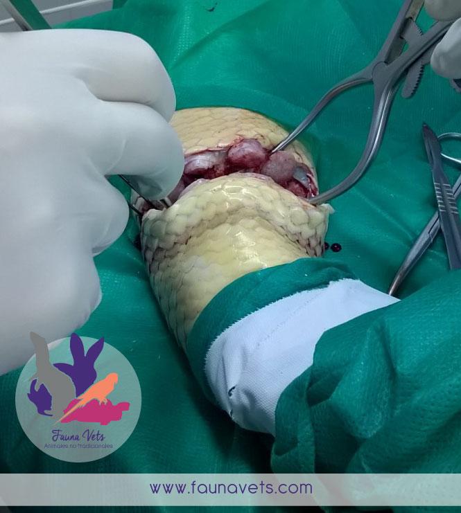 Amputación de cola a serpiente veterinario serpientes