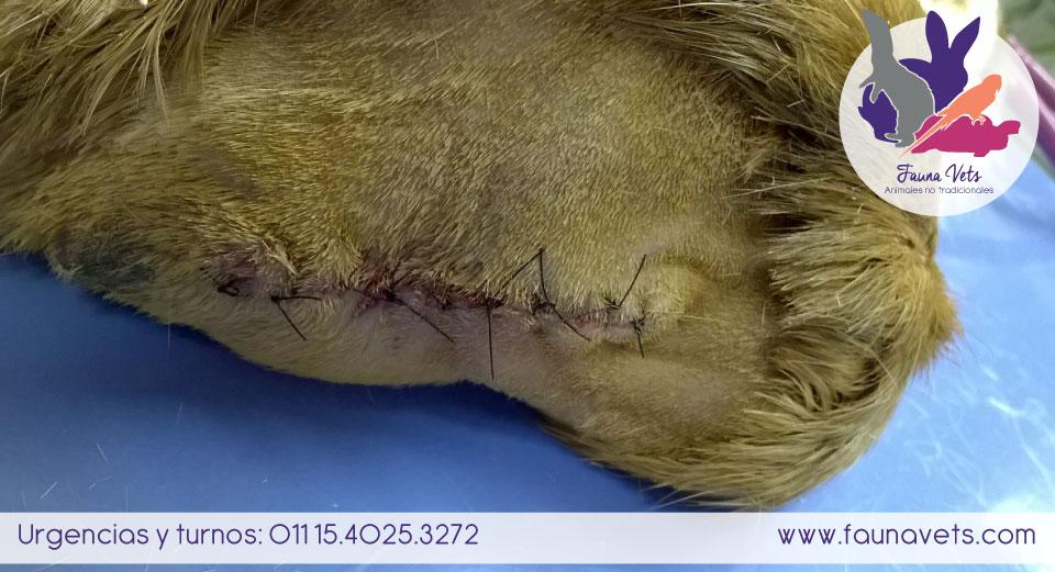 cobayo con masa ulcerada en la espalda - veterinarios exoticos - buenos aires