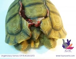 reconstruccion de caparazon tortuga terrestre atropellada