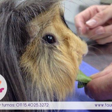 Cobayo castracion veterinario