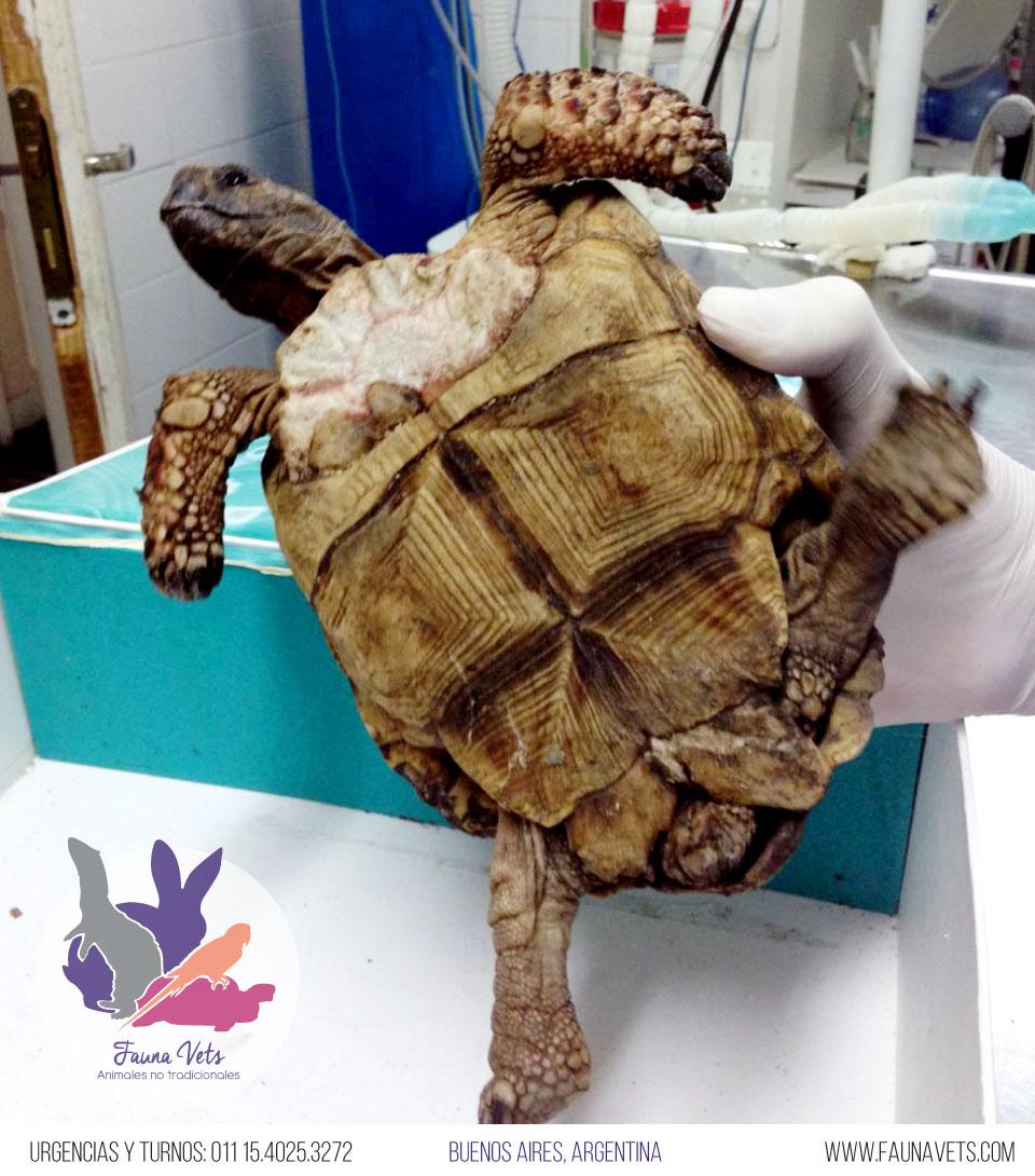 tortuga-mordida-perro-caparazon