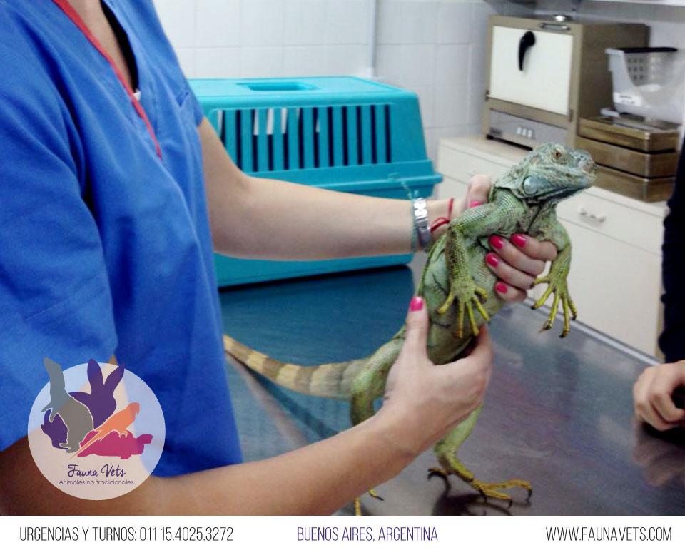 Iguana verde hemorragia e infeccion en la boca