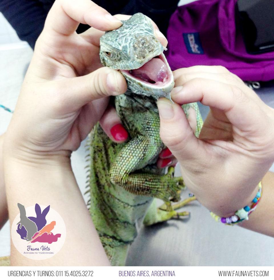 Iguana hemorragia e infeccion en la boca
