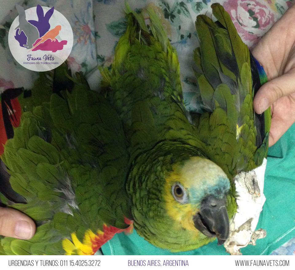 Loro con convulsiones depresion patas rigidas veterinario