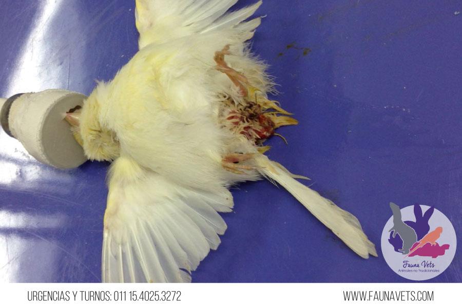 canario-malformacion-ave-veterinario