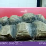 tortuga con pico largo prolapso de vejiga veterinario exoticos buenos aires fernando pedrosa 3