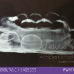 tortuga con pico largo prolapso de vejiga veterinario exoticos buenos aires fernando pedrosa 8