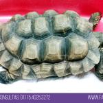 tortuga con pico largo prolapso de vejiga veterinario exoticos buenos aires fernando pedrosa 9