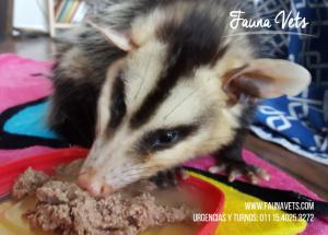 Comadreja rescatada con crias en su marsupio