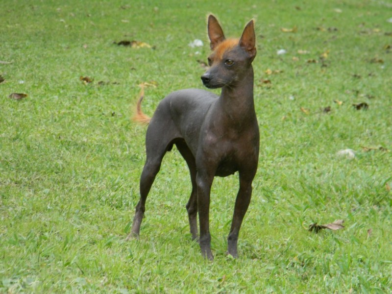 Large Of Hairless Dog Breeds
