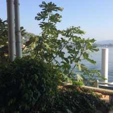 Feigenbaum am Lago di Lugano