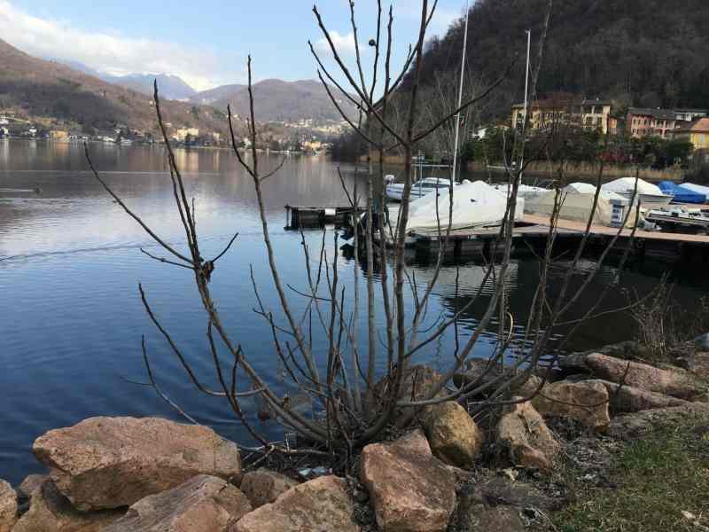 Feigenbaum am Wasser Lago di Lugano