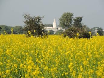 Mustard field walks