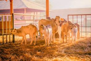 GEV cows