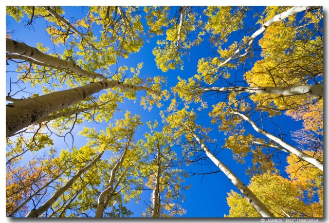 Beautiful autumn weather scenic view looking up with blue sky above covered in colorful high country golden aspen trees. Colorado Fine art nature landscape photography poster prints, decorative canvas prints, acrylic prints, metal prints, corporate artwork, greeting cards and stock images by James Bo Insogna (C) - All Rights Reserved. *PLEASE NOTE, WATERMARKS WILL NOT BE ON THE PURCHASE PRINTS*