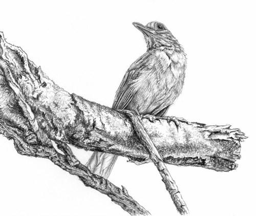 realistic-bird-drawing