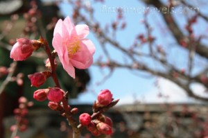 Some flowers have bloomed in spring. Taken at the Changdeokgung Palace.