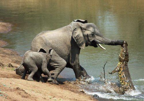 Cocodrilo atacando a una elefante y su cría