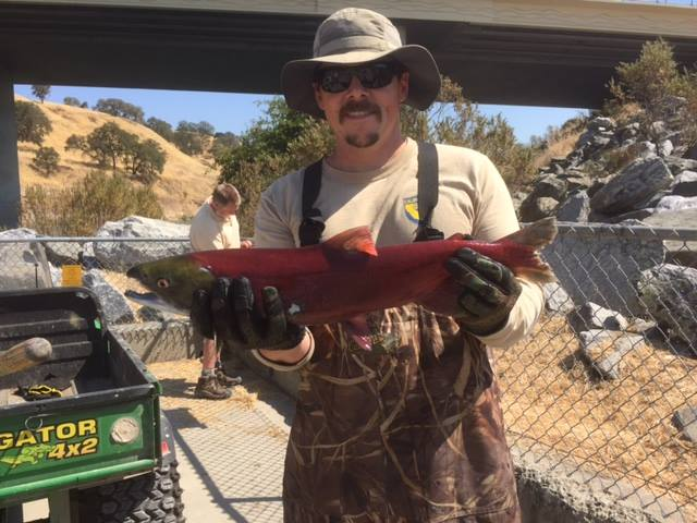 Sockeye Salmon Makes A Wrong Turn