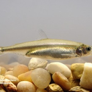 Delta Smelt, Adult (side view), UC Davis Fish Conservation and Culture Lab, Byron, CA (largely funded by the California Department of Water Resources) May 15, 2008