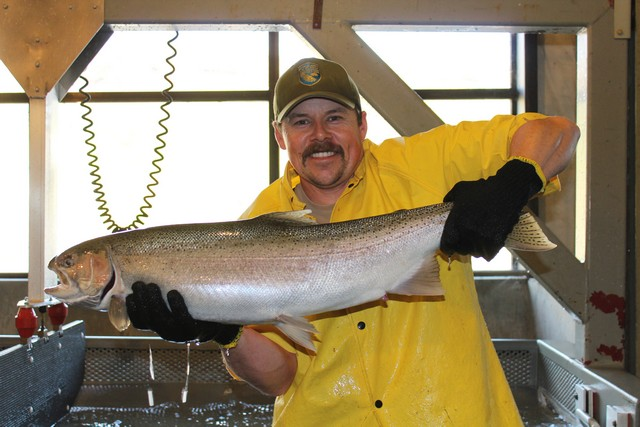 Greg Ferguson, CDFW Fish & Wildlife Technician, displays a big, beautiful Eel River-strain steelhead at Nimbus Fish Hatchery
