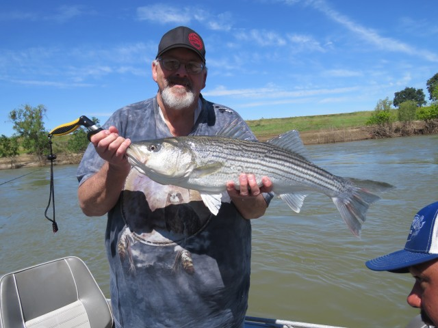 Fish Sniffer Readers Smack Feather River Stripers!