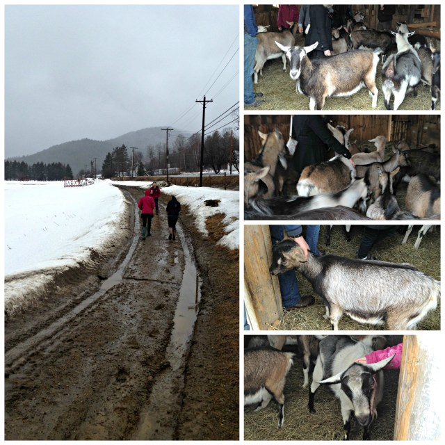 Perfect Vermont: Goats