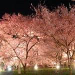 230夜桜ライトアップ