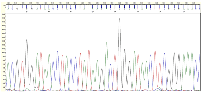 Figure 2: A method known as Sanger Sequencing was used to identify species of Staphylococcus based on unique patterns in the bacterium's DNA. An example of the sequencing output is shown here. Each colored peak represents a fluorescent signal and corresponds to a different letter in the DNA sequence, which can be seen at the top of the display.