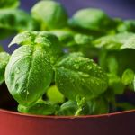 Basil Plant 101: Main Varieties and How to Grow Them