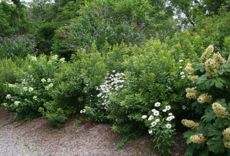 An informal bayberry hedge forms the perfect foil for butterfly bush (Buddleia davidii), shasta daisies (Leucanthemum x superbum 'Becky'), and the bold-textured flower clusters of oakleaf hydrangeas (Hydrangea quercifolia).