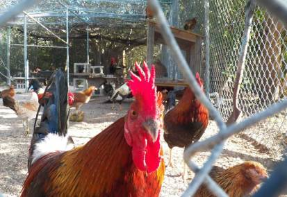 Rooster at Key West Wildlife Center