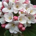 Sweet Spring Viburnum Flowers