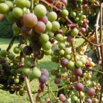 Homemade Grape Juice Recipe