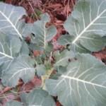 Broccoli Leaf Harvest