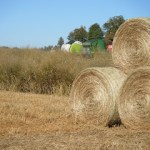 Switchgrass for Livestock Forage