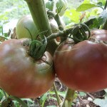 Why Grow Open-Pollinated, Heirloom Vegetables?